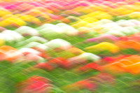 Tulip Field Abstract