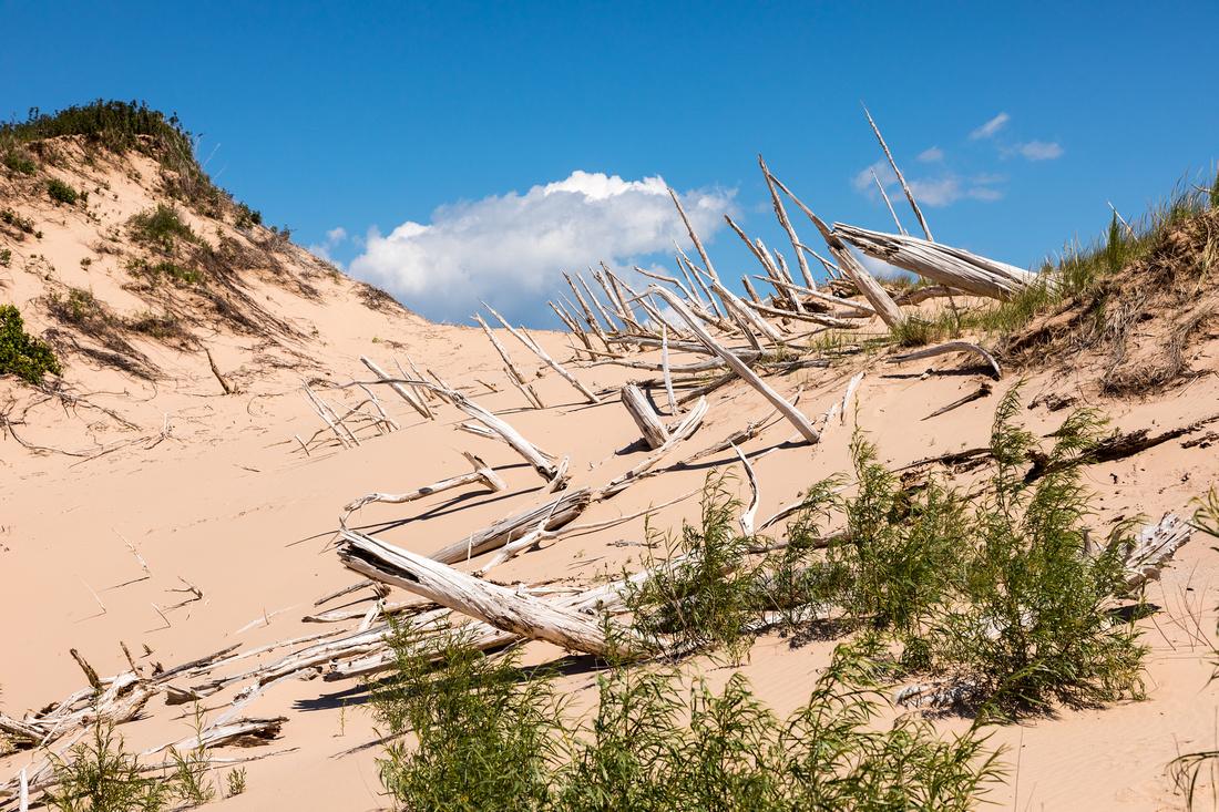 Ghost Forest - Sleeping Bear Dunes