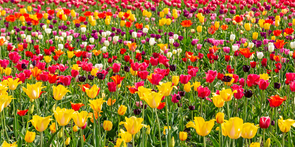 CMS_0528_Tulips in Holland