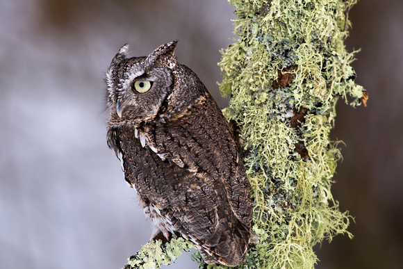 Eastern Screech Owl in Winter
