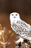 Snowy Owl in Michgan