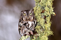 Eastern Screech Owl in Winter II