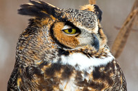 Great Horned Owl face closeup