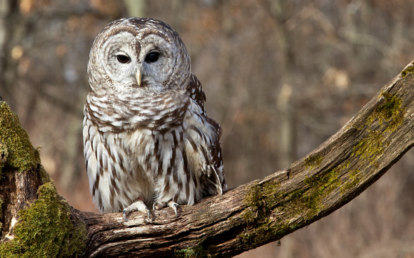 Barred Owl in Autumn