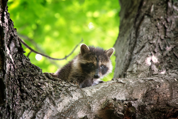 A Baby Raccoon - aka Future Cooler Raider
