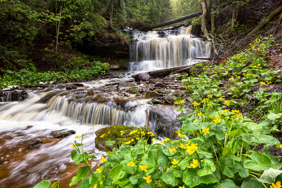 Spring Buttercups at Wagner Falls