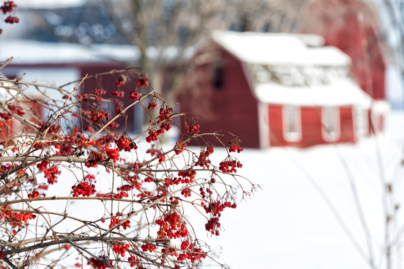 Red Berries & Red Barns