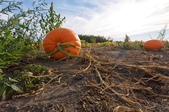 Giant Pumpkins for Sale