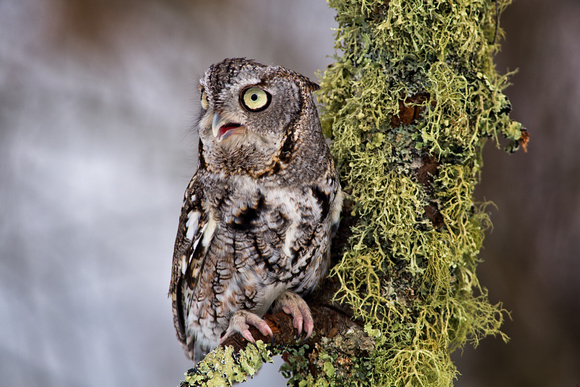 Eastern Screech Owl on Lichen Branch