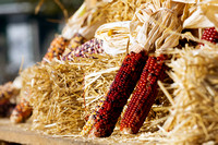 Indian Corn on Farmer's Wagon