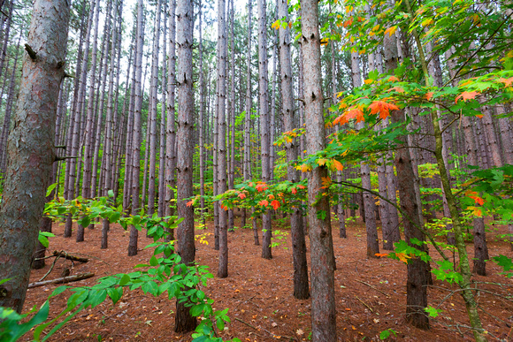 Pine Plantation in Autumn - Sleeping Bear Dunes
